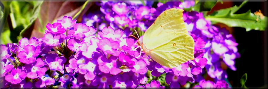 brimstone butterfly feeding at a hanging basket