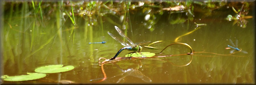 emerald dragnonfly plus damselflies over the pond